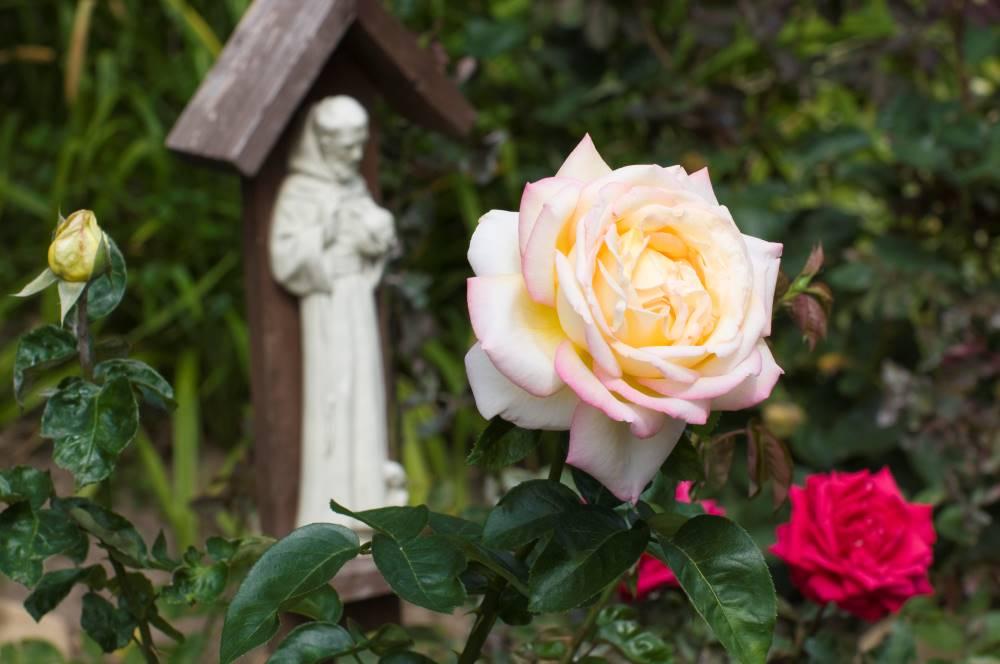 Rosa con Statua di San Francesco